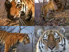 Дальний Восток отмечает Международный день тигра