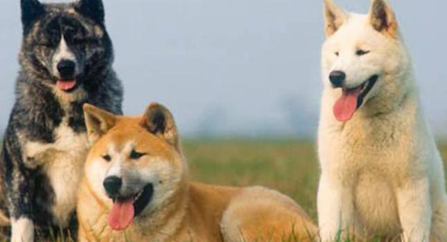 собаки акито