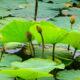 В Приморье пропадает озеро с краснокнижными лотосами Комарова