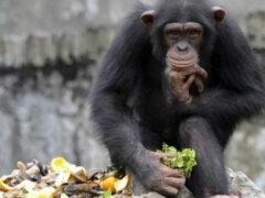В дикой природе есть шимпанзе-алкоголики — Ученые