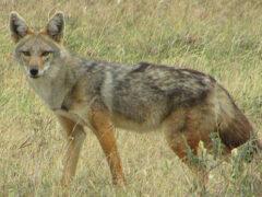 В Африке обнаружен новый вид волка