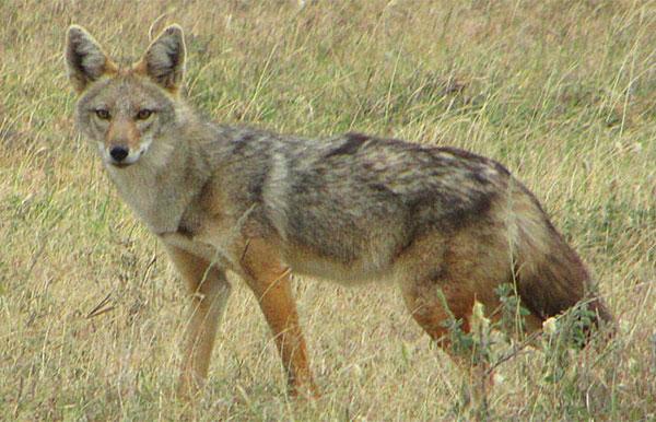 новый вид волка