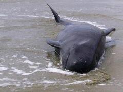 На побережье у Фукусимы от радиации массово гибнут дельфины