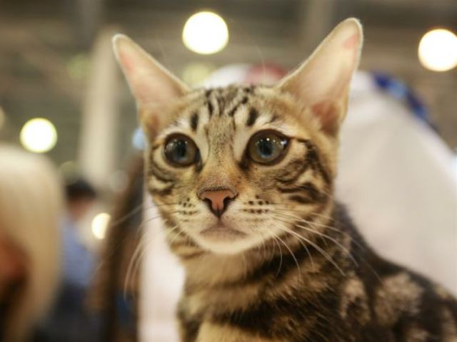 кошка Нитама