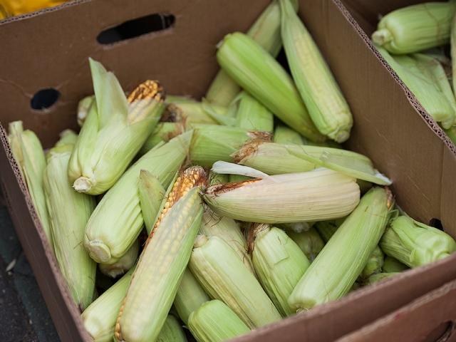 кукуруза ГМО