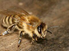 Британские ученые помогут пчелам улучшить свой иммунитет
