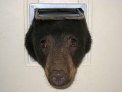 Айдахо: В поисках пищи медведь пробрался в дом через кошачий вход