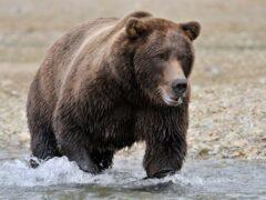 Медведицу, загрызшую человека, усыпили в США