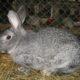 На Алтае задержали похитителя кроликов
