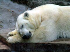 Ученые наденут спутниковые ошейники на белых медведей на Ямале
