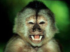 Ученые: обезьяны тоже чистят нос и зубы