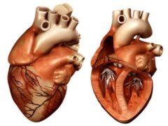 Ученые разработали систему, позволяющую распечатать 3D-модель сердца за несколько часов