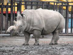 Эксперты сравнят ДНК шерстистого и современного белого носорогов