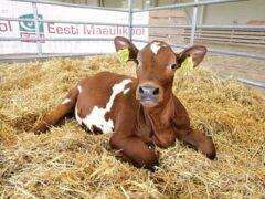 В Китае первая клонированная корова родила теленка