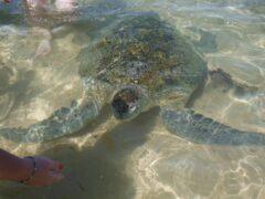Светящаяся морская черепаха: феномен природы, заявляют ученые