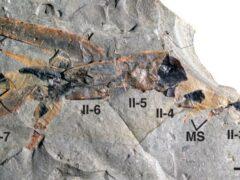 Ученые обнаружили древнего гигантского скорпиона Pentecopterus