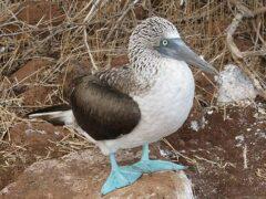 Ученые: Синелапые олуши маскируют яйца в грязи, дабы спрятать их от хищников