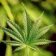 В Мытищах у девушки изъяли более 300 граммов марихуаны и гашиш