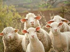 С пастбища на Ставрополье украли стадо овец