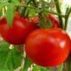 Иранские бизнесмены планируют выращивать томаты и цветы в Астрахани