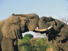 Ученые: ДНК слона поможет создать лекарство от рака