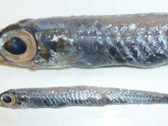 У берегов Гренландии была поймана неизвестная рыба с большими глазами