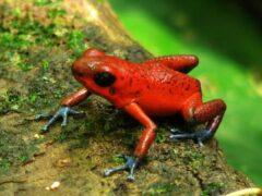 Ученые предлагают использовать яд лягушки в качестве смертельного оружия