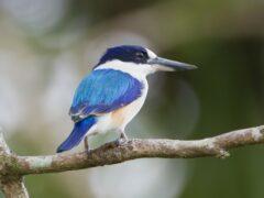В США ученый поймал и убил для коллекции очень редкую птицу