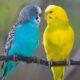 17 попугаев-нелегалов незаконно везла в Тынду проводница поезда