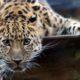 В Московском зоопарке появился самец дальневосточного леопарда