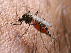 Ученые вывели комаров с геном, «отключающим» малярию