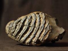 Зуб мамонта нашли при добыче песка для арены к ЧМ-2018 под Калининградом