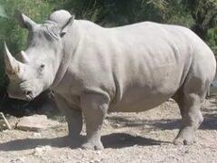 США: умер один из четырех последних белых носорогов в мире