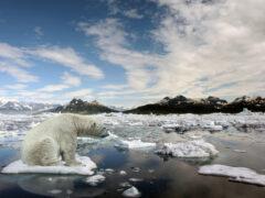 Глобальное потепление уничтожит 30% белых медведей