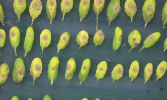 растения инфекция