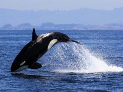 На поведение косаток влияют подводные шумы — ученые