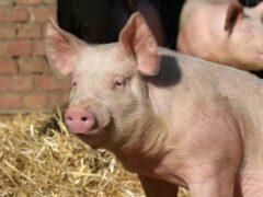 В Ивановском районе сгорели около 50 свиней