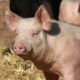 На Ставрополье запретили ввоз свинины из Крыма из-за вспышки африканской чумы