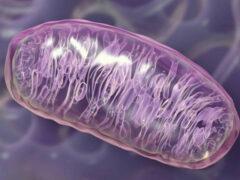 Причиной люпуса являются дефекты в работе митохондрий