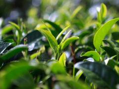 Археологи нашли в Китае древнейшие листья чая