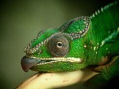 Язык хамелеона разгоняется до «сотни» за сотую долю секунды