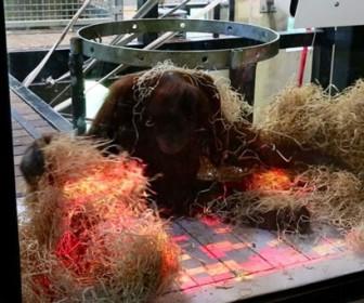 орангутангов научили играть в видеоигры