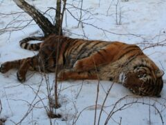 Пойманного в Воронеже беглого тигра поселили в городском зоопарке