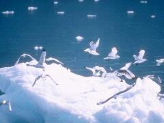 50 миллионов лет назад по Арктике гуляли гигантские птицы