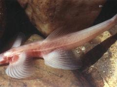 Ученые обнаружили в Таиланде новый вид рыб, которые умеют ходить