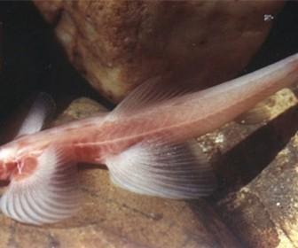 Рыба Cryptotora thamicola