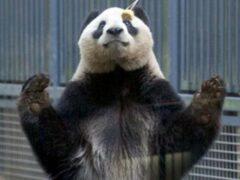 В Японии найдена настоящая «кунг-фу панда»
