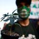 Ученые: Длительное употребление марихуаны грозит социальной деградацией