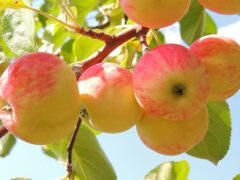 Ученые: Ежедневное употребление яблок снижает риск ранней смерти