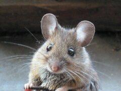 Ученые: Подопытные мыши вернулись из космоса с больной печенью